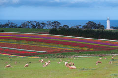 Tulip fields at Table Cape Stock Photo