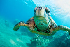 Sea turlte. Tropical sea turtle maui hawaii Royalty Free Stock Photography