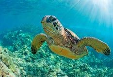 Sea turlte. Tropical sea turtle maui hawaii Stock Image