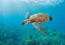 Sea turlte. Tropical sea turtle maui hawaii Royalty Free Stock Image