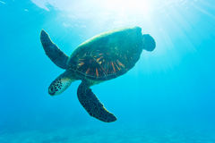 Sea turtle Stock Photo
