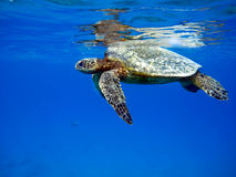 Sea Turtle. Floating near the top of the water's surface Royalty Free Stock Photos