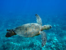 Sea Turtle. Swimming through blue ocean waters Royalty Free Stock Photos