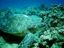 Sea Turtle. A sea turtle at the bottom of the ocean in Hawaii Royalty Free Stock Photography