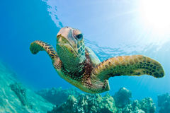 Sea turtle. Turtle swimming in sea closeup with green coral reef and sunburst in maui, hawaii Royalty Free Stock Image