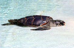 Sea turtle. Sleeping under the sun Stock Images
