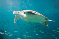 The sea turtle Royalty Free Stock Image