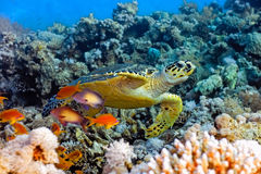 Sea turtle. On the coral reef Royalty Free Stock Photos