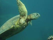 Sea turtle. A Hawaiian sea turtle swimming under water Stock Photo