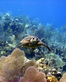 Sea turtle. A sea turtle soars over a beautiful coral reef Royalty Free Stock Photos