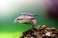 Sea turtle. Swimming together with two fishes stock photo