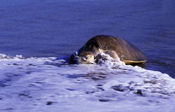 Sea turtle. At the beach Royalty Free Stock Photos
