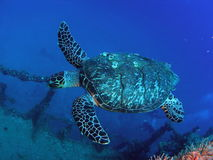 Sea Turtle. A large sea turtle on the Captain Dan wreck in south Florida Stock Photo