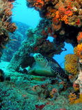 Sea Turtle. A large sea turtle resting on the Captain Dan wreck in south Florida stock photos