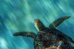 Sea Turtle. Turtle in China sea around Apo Island - Philippines Royalty Free Stock Image