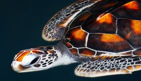 Sea turtle. View of giant sea turtle sliding smoothly in water environment Royalty Free Stock Images