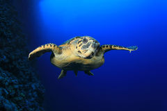 Sea Turtle Royalty Free Stock Photos