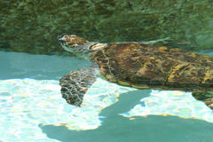Sea Turtle. Swimming on a beach like pool at the zoo Royalty Free Stock Photos