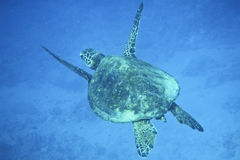 Free Sea Turtle Royalty Free Stock Photography - 20497447