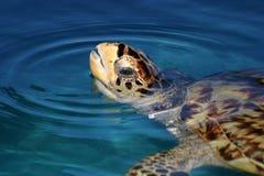 Sea turtle. Brazil Bahia state Green turtle in clear turquoise water Stock Photos