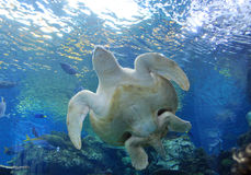 Sea Turtle. In Aquarium of the Pacific, Long Beach, California, USA Stock Photo