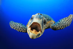 Sea Turtle. Curious Sea Turtle comes up to say Hello Royalty Free Stock Photo