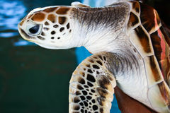 Sea turtle. Swimming. Close up photo Royalty Free Stock Photography