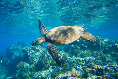 Sea Turtle Royalty Free Stock Photo