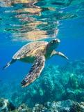Sea Turtle. Green sea turtle swimming in ocean sea Stock Images