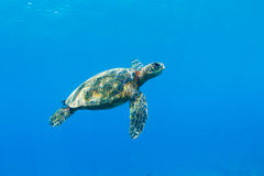 Sea Turtle Royalty Free Stock Image
