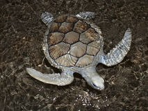 Sea Turtle. Swimming just under water Stock Photo