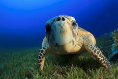 Sea Turtle. Hawksbill Sea Turtle (Eretmochelys imbricata Stock Image