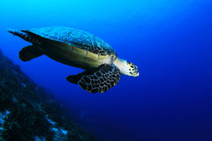 Sea turtle. At Cozumel Island, Mexico Stock Photography