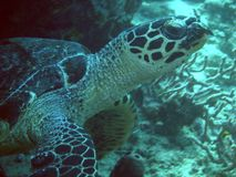 Sea turtle. Resting turtle Stock Image