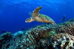 Free Sea Turtle Royalty Free Stock Image - 26630156