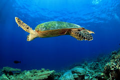 Sea Turtle. Hawksbill sea turtle in the blue water of the ocean Royalty Free Stock Photo