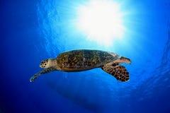 Sea Turtle. Hawksbill sea turtle in the blue water of the ocean Stock Photo