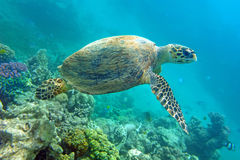 Sea turtle. Above coral in the natural environment Royalty Free Stock Images