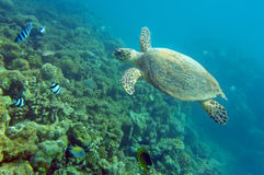 Sea turtle. Near coral reef in the natural environment Stock Image