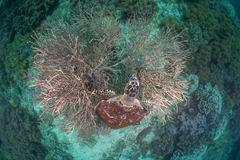 Sea turtle. Hard coral under water Royalty Free Stock Images