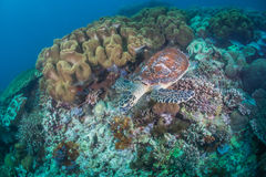 Sea turtle. Coral under water Stock Images