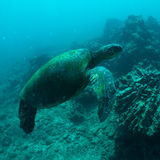 Sea Turtle. Green sea turtle swimming gracefully through the ocean stock image