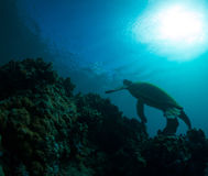 Sea Turtle. Green sea turtle swimming gracefully through the ocean royalty free stock images