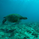 Sea Turtle. Green sea turtle swimming gracefully through the ocean royalty free stock photos