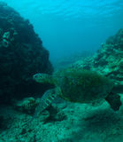 Sea Turtle. Green sea turtle swimming gracefully through the ocean Stock Photography