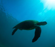 Sea Turtle. Green sea turtle swimming gracefully through the ocean royalty free stock image