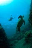 Sea Turtle. Green sea turtle swimming gracefully through the ocean royalty free stock photo
