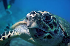 Sea Turtle. Closeup of a green sea turtle Royalty Free Stock Image