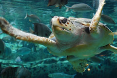Sea Turtle. The sea Turtle is working so hard to swimming faster..The posture is so attractive Stock Images