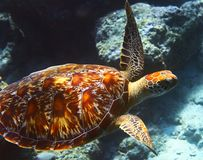 Sea turtle. Is on an ocean bed stock photography